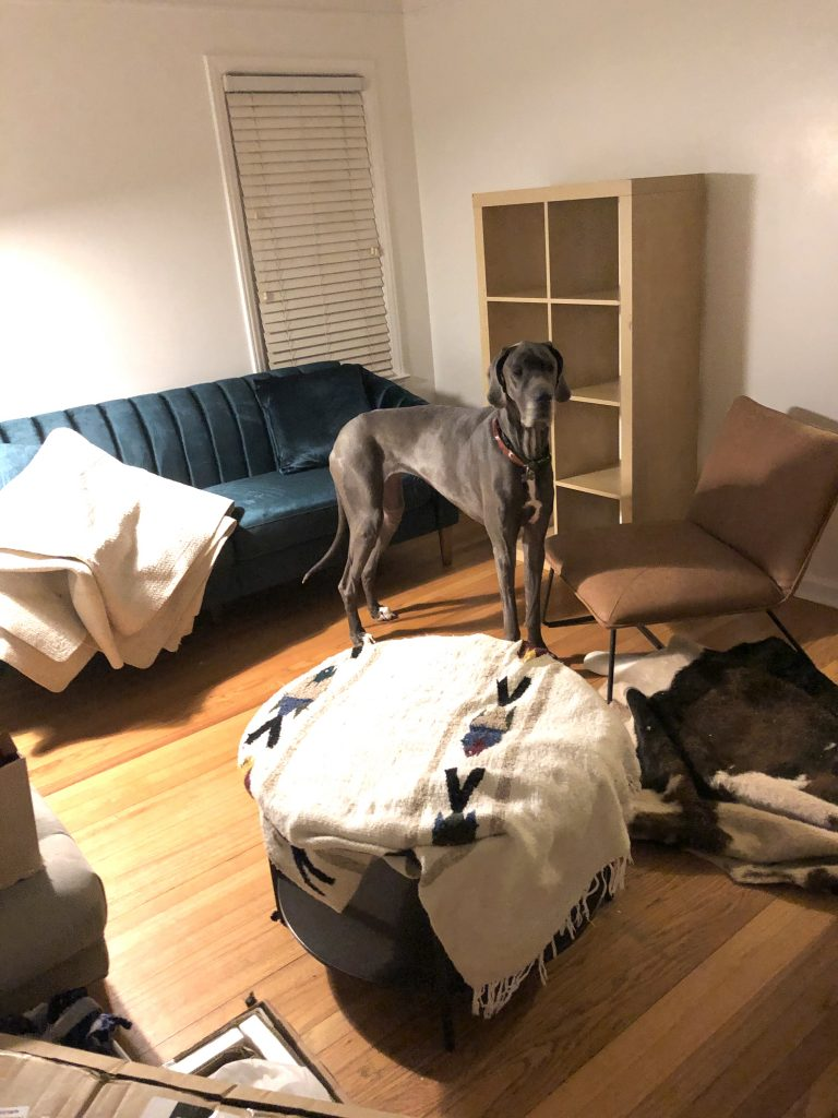 great dane dog blue inside a new small house