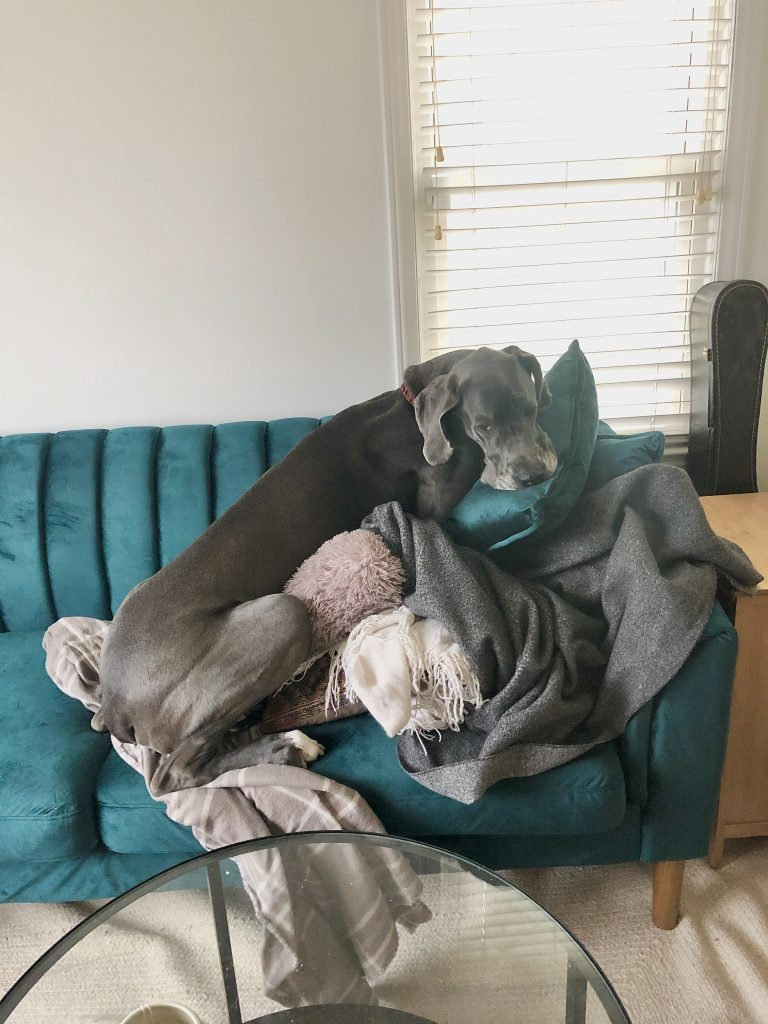 great dane dog blue on couch on pillows